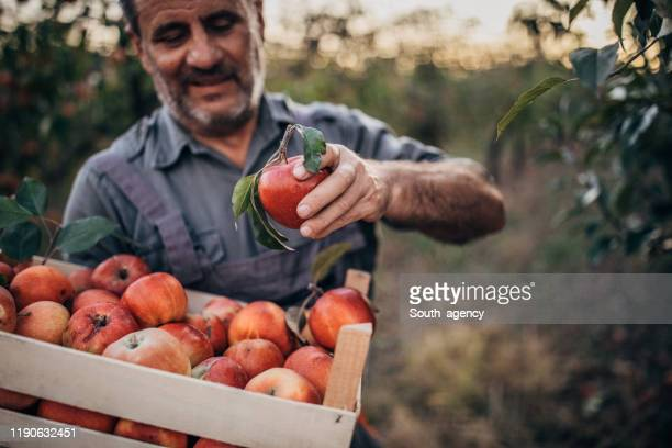 farmer picking up apples in orchard - south_agency stock pictures, royalty-free photos & images