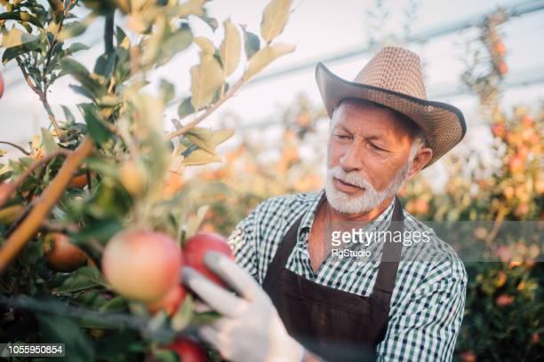 agricultor recogiendo manzanas - maduro fotografías e imágenes de stock