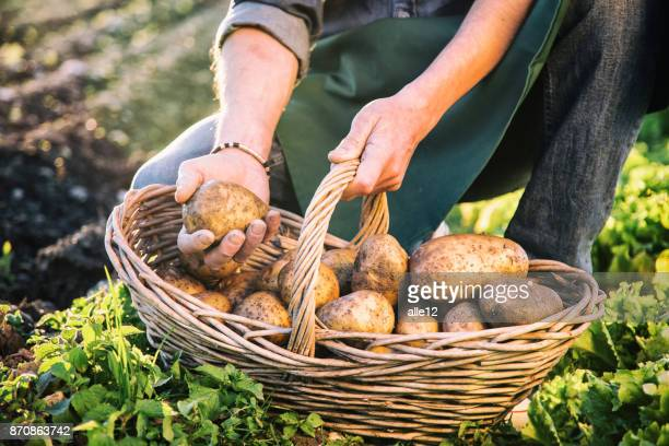 farmer picking up potatoes - raw potato stock pictures, royalty-free photos & images