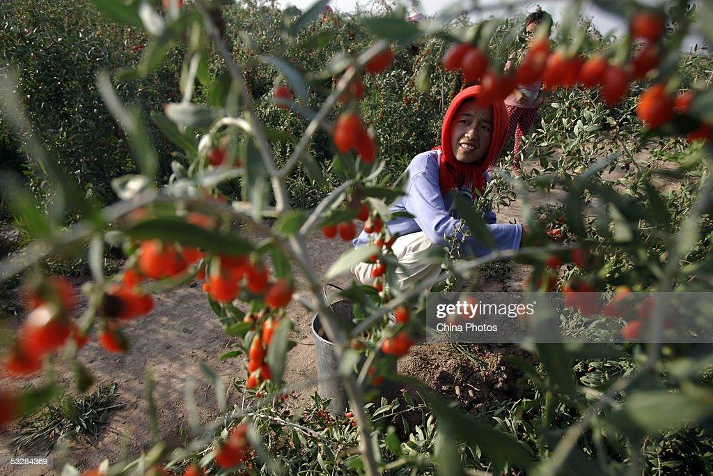 Farmers Harvest Medlars In Ningxia Of China : News Photo
