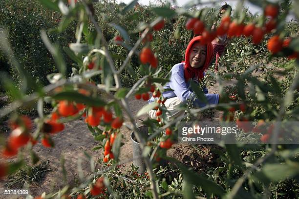 A farmer picks medlars at a medlar farm on July 24 2005 in Tongxin County of Ningxia Hui Autonomous Region north China Ningxia is known as the...