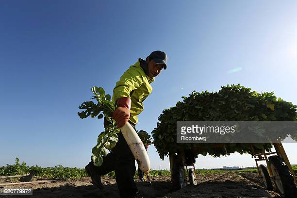 A farmer picks up a Daikon radish during the vegetable's harvest at a field in Tatsuno Hyogo Prefecture Japan on Wednesday Nov 2 2016 Unusually poor...