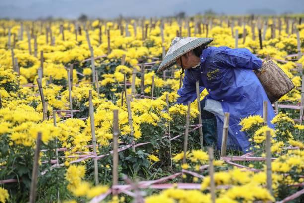 CHN: Golden Chrysanthemums Harvest In Qiannan