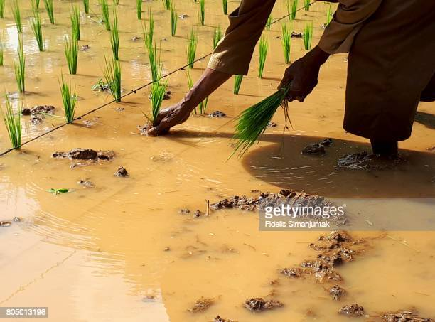 A farmer planting rice in the paddy field
