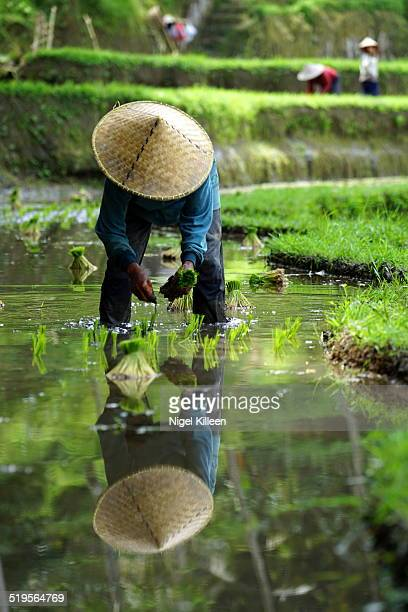 farmer planting rice, ubud, bali - rice terrace stockfoto's en -beelden