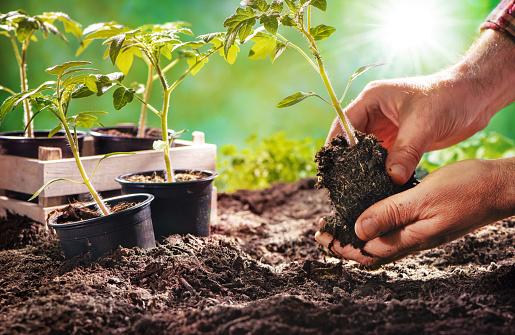 Farmer planting tomatoes seedling in organic garden 1137926593