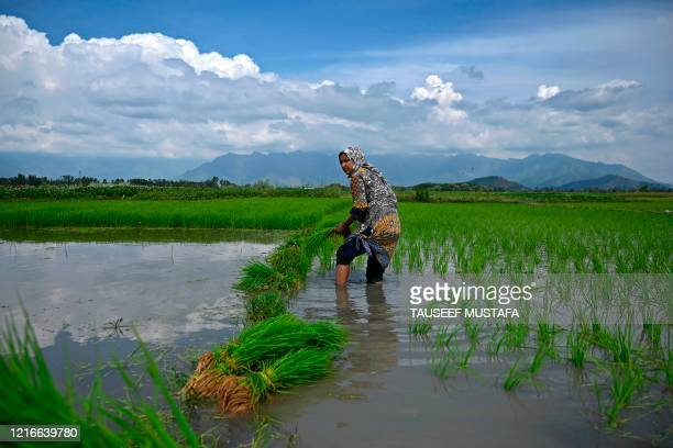 Farmer plants rice saplings at a water-logged rice field on the outskirts of Srinagar on June 1, 2020.