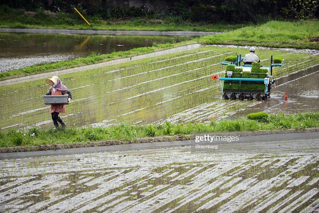 Farmers Plant Rice In Paddies As Planting Season Begins : News Photo