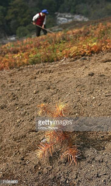 A farmer plants yew seedling a substitution crop for poppy on March 15 2006 in Panwa Kachin State Special Region 1 of Kachin State Myanmar The Kachin...