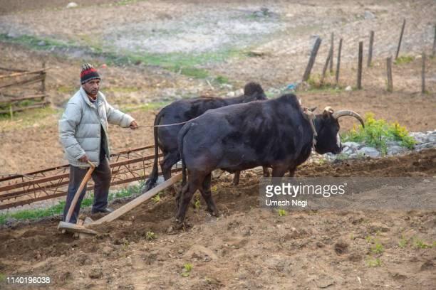campo ploughing do fazendeiro - oxen - fotografias e filmes do acervo