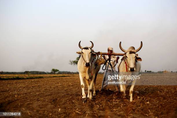 farmer ploughing field using wooden plough - wild cattle stock photos and pictures