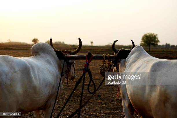 farmer ploughing field using wooden plough - asian ox imagens e fotografias de stock