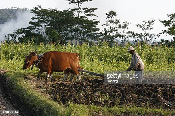 Farmer ploughing his field Indonesia