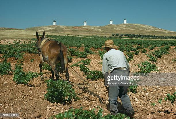 A farmer ploughs a field using a horse against the backdrop of Cervantes famous windmills that his protagonist Don Quixote mistook for giants in his...