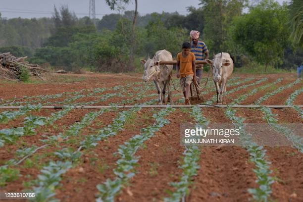 Farmer ploughs his field using a pair of bullocks, on the outskirts of Bangalore on June 23, 2021.