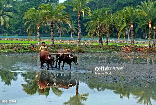 Farmer ploughs the field by cattle in a village of Bangladesh December 18 2012