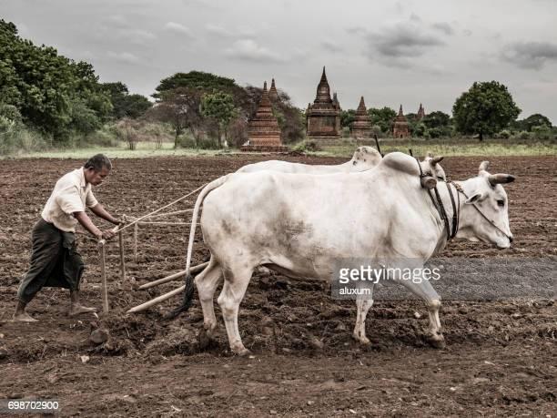 Farmer plowing field Bagan Myanmar