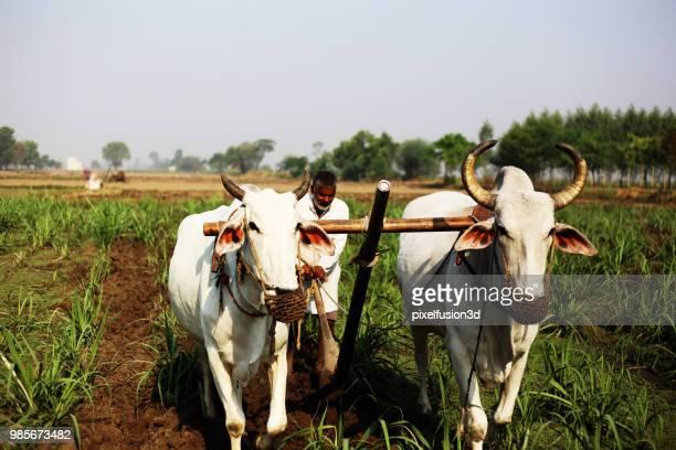campo de lavra de agricultor usando o arado de madeira - oxen - fotografias e filmes do acervo