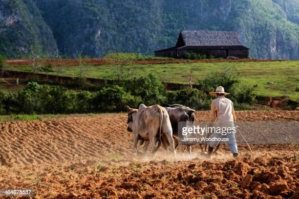 farmer plowing field with oxen, vinales, pinar del rio, cuba - working animal stock pictures, royalty-free photos & images