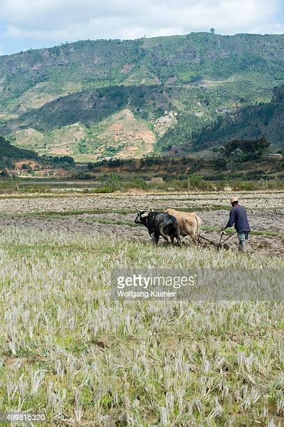 Farmer plowing field with zebus along highway No 2 east of Antananarivo near Moramanga Madagascar