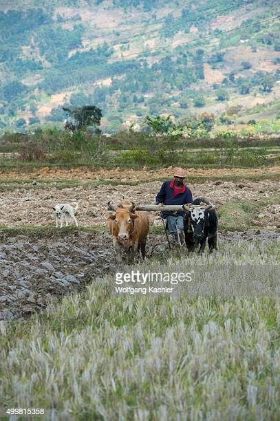 Farmer plowing field with zebus along highway No. 2 east of Antananarivo, near Moramanga, Madagascar.