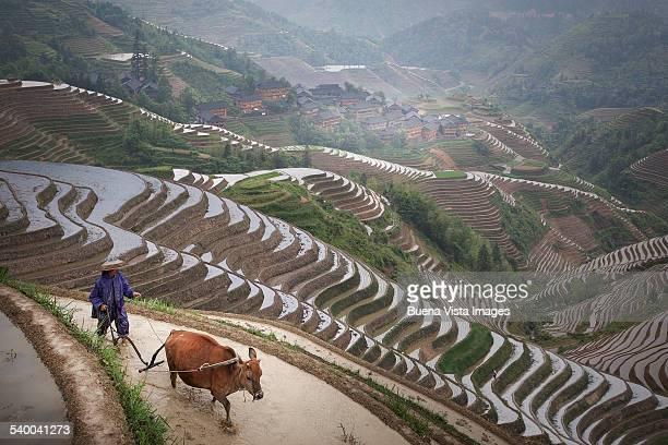 farmer  plowing rice terrace with oxen - rice terrace stockfoto's en -beelden