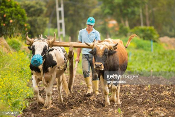 farmer plowing with oxen - wild cattle stock photos and pictures