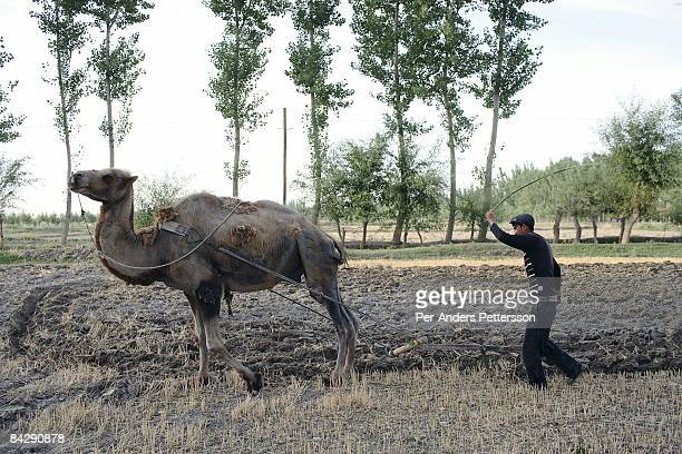 A farmer plows his fields with a camel on a farm on June 19 2007 outside Aksu China