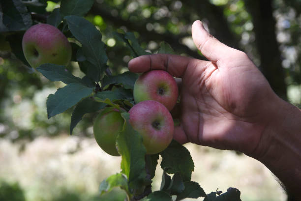 IND: Farmers Harvest Apples In Srinagar