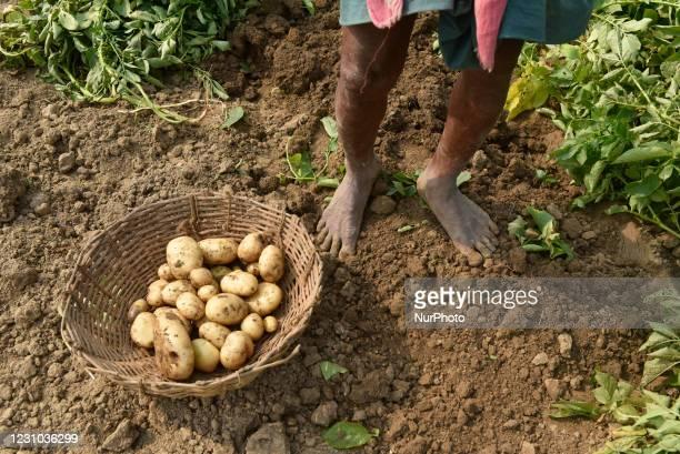 Farmer plucks potatoe from his farming field in Dwarhatta, Hoogly District, West Bengal, India, 06 February, 2021.