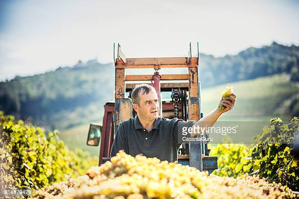 Farmer Portrait Checking the Harvested Grapes