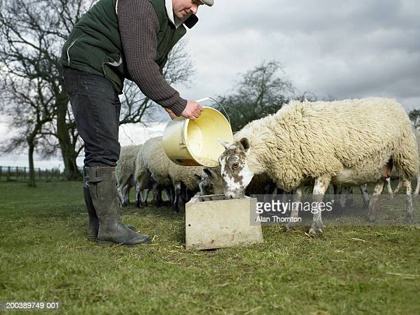 Farmer pouring feed into trough for sheep in field