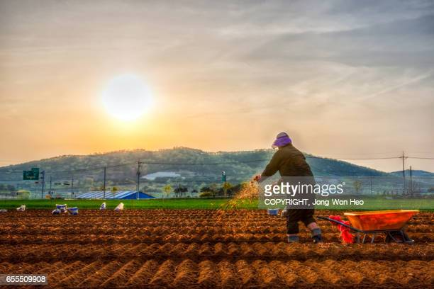 A farmer pouring fertilizers after sowing