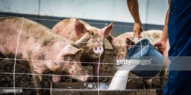 farmer pouring liquid food to pig trough in a barn - pig nose stock pictures, royalty-free photos & images