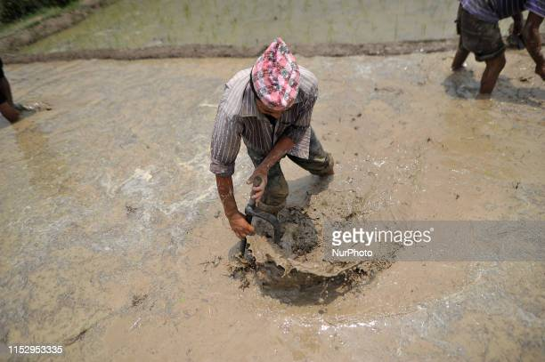 A farmer prepares the field for Rice Plantation during the celebration of National Paddy Day quotASHAD 15quot at Chhampi Lalitpur Nepal on Sunday...