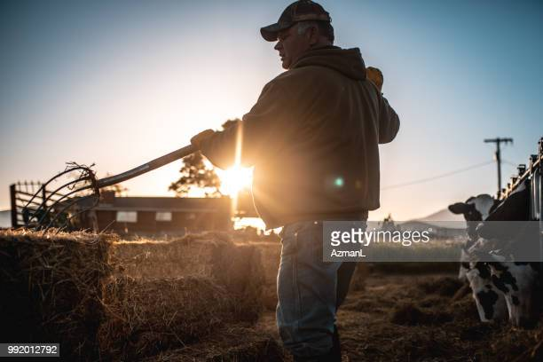 farmer preparing hay for cows in a pen - morning stock pictures, royalty-free photos & images