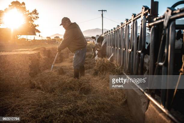 farmer preparing hay for cows in a pen - dairy cattle stock pictures, royalty-free photos & images