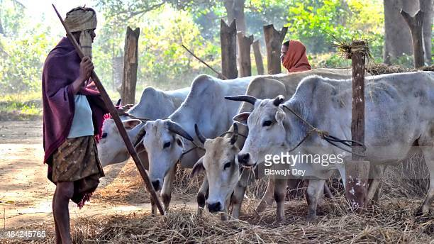 Farmer producing rice from paddy in a conventional way using bullock cattle.