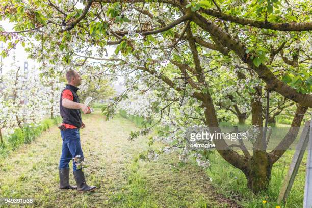 farmer prunes fruit trees - pruning shears stock photos and pictures