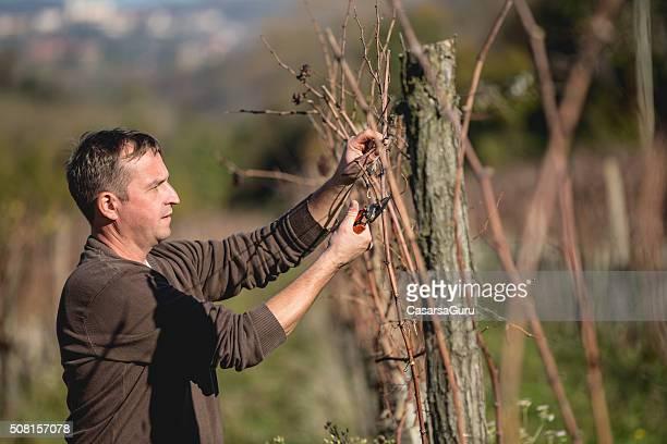 Agriculteur Élagage Grapevine dans les vignobles en hiver