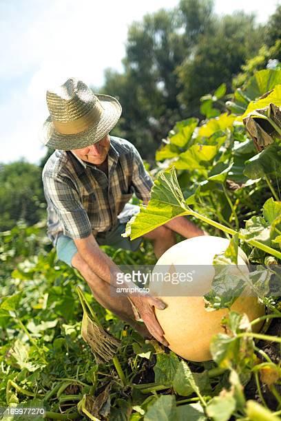farmer pumpkin field