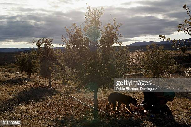Farmer Rafael Donate Peiro 57 digs the soil after his sniffer dog Choqui detected a truffle underground at a truffle plantation on February 19 2016...
