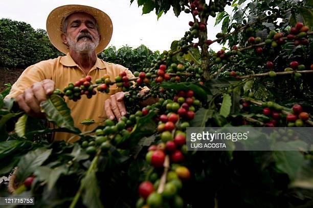 Farmer Rafael Jaramillo inspects a coffee plant in a plantation at the Hacienda Villa Martha in the municipality of La Gloria department of Risaralda...