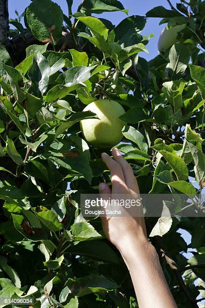 Farmer reaches to pick fruit off the tree