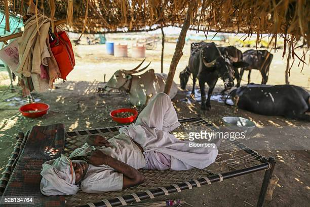 A farmer rests at a cattle shelter in Beed district Maharashtra India on Friday April 15 2016 Hundreds of millions of people in India are grappling...