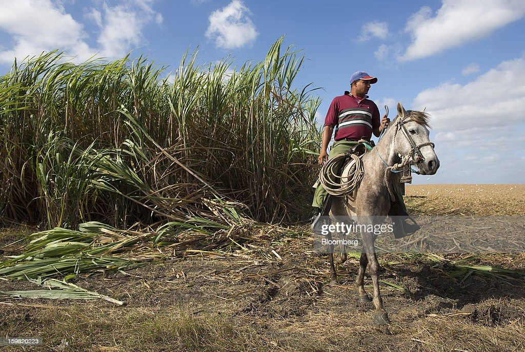 A farmer rides his horse near sugarcane plants during a harvest in a field near Jatibonico, Cuba, on Sunday, Jan. 13, 2013. Sugar prices fell 16 percent last year as global supplies are forecast to outpace demand for a third year in 2012-13, according to the London-based International Sugar Organization. Photographer: Andrey Rudakov/Bloomberg via Getty Images
