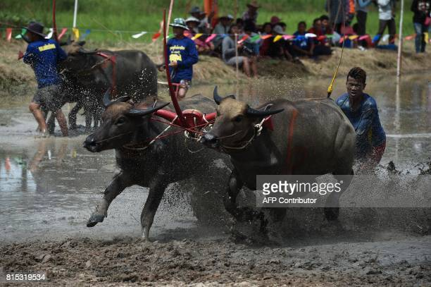 A farmer rides on the back of wooden ploughs tied to pairs of racing buffaloes during the annual rice planting festival in Chonburi on July 16 2017...