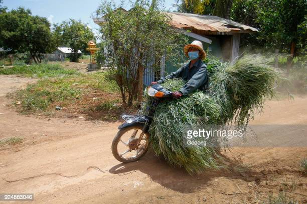 Farmer riding a scooter with fodder on a country road Cambodia
