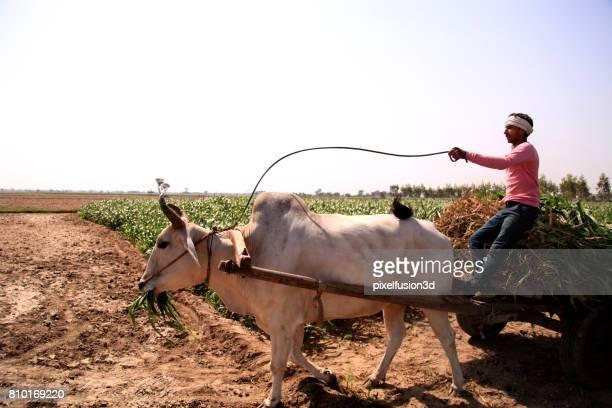 farmer riding ox cart - asian ox imagens e fotografias de stock