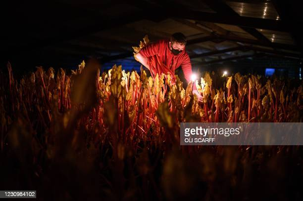 Farmer Robert Tomlinson harvests forced rhubarb by candlelight on his farm in Pudsey, near Leeds in northern England on February 5, 2021. -...